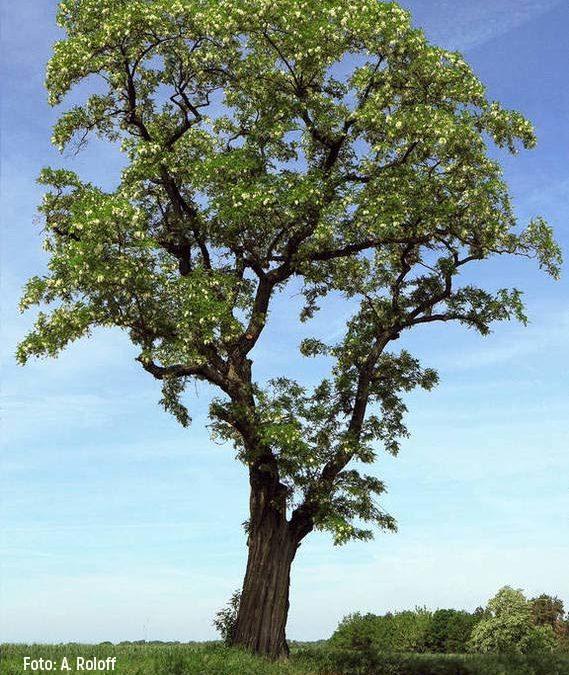 Die Robinie ist der Baum des Jahres 2020